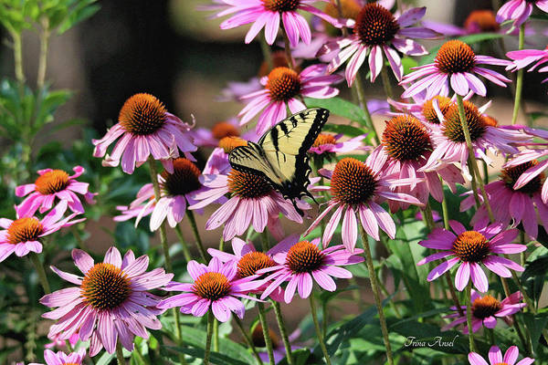 Photograph - Butterfly On Coneflowers by Trina Ansel