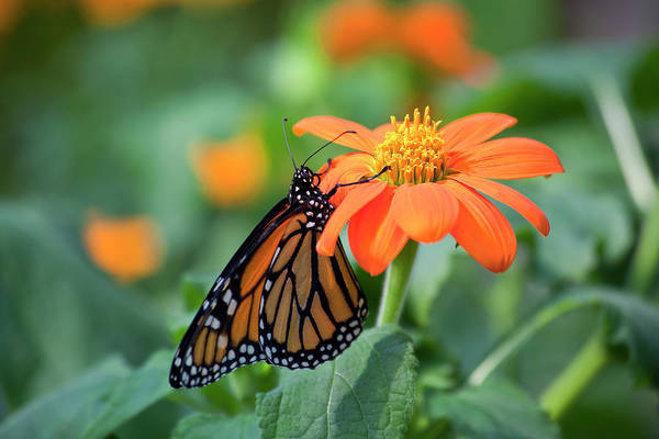 Photograph - Butterfly On Flower by Jill Lang