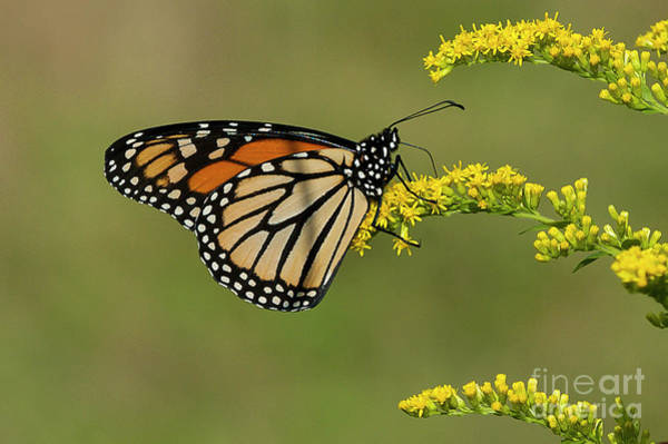 Photograph - Butterfly On Flowers by Michael D Miller