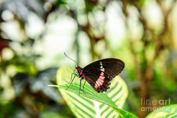 Photograph - Butterfly On Leaf by Shuwen Wu