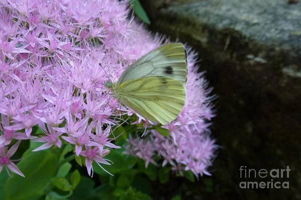Butterfly On Mauve Flowers Art Print
