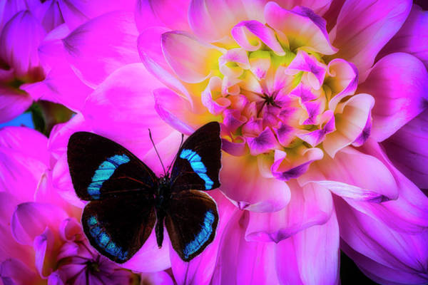 Wall Art - Photograph - Butterfly On Pink Dahlia by Garry Gay