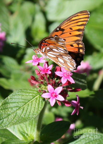 Agraulis Vanillae Photograph - Butterfly On Pink Pentas by Carol Groenen