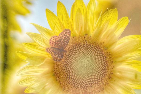 Photograph - Butterfly On Sunflower  by Sumoflam Photography