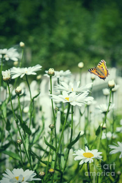 Picket Fence Photograph - Butterfly On White Daisies by Amanda Elwell