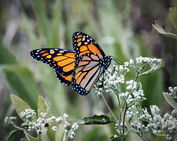 Sandy Point State Park Photograph - Butterfly On Wildflower 2 by Brian Wallace