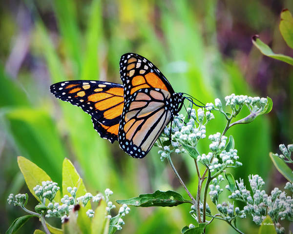 Sandy Point State Park Photograph - Butterfly On Wildflower by Brian Wallace