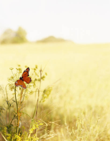 Monarch Butterflies Photograph - Butterfly On Wildflower In Country by Gillham Studios