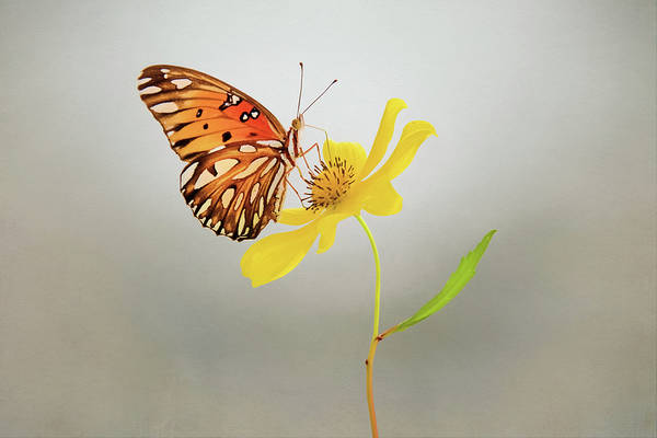 Passion Butterfly Photograph - Butterfly On Yellow Flower by Steven Michael
