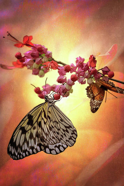 Photograph - Butterfly Pair by Susan Rissi Tregoning