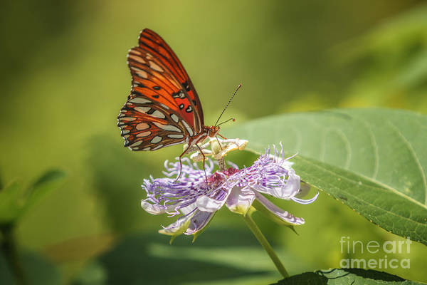 Photograph - Butterfly Passion 2 by Tim Wemple
