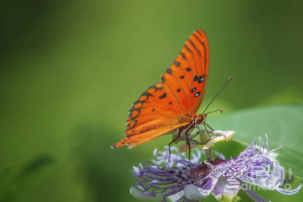 Photograph - Butterfly Passion by Tim Wemple