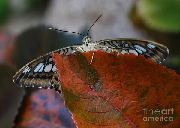 Photograph - Butterfly Peaking Over Leaf by Sue Harper