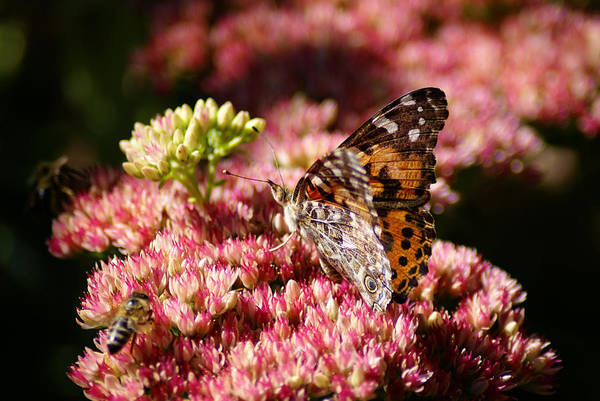 Photograph - Butterfly Photo #43 by Ben Upham III