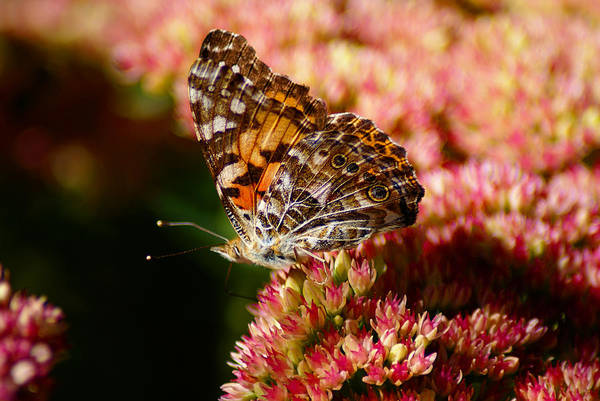 Photograph - Butterfly Photo #45 by Ben Upham III