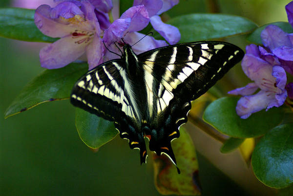 Photograph - Butterfly Photo #63 by Ben Upham III