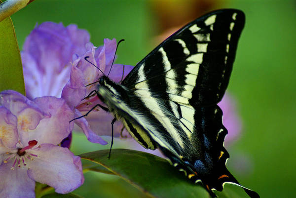 Photograph - Butterfly Photo #66 by Ben Upham III