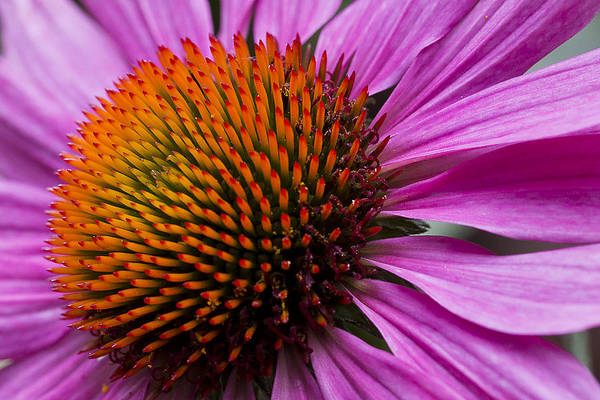 Photograph - Butterfly Purple Cone Flower by Ken Barrett