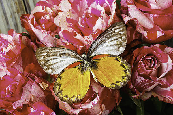 Orange Rose Photograph - Butterfly Resting On Roses by Garry Gay