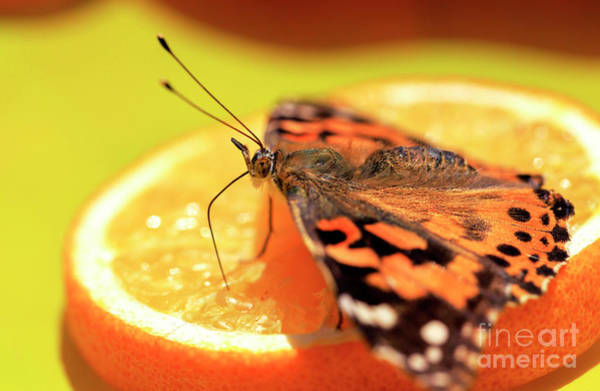 Photograph - Butterfly Snack by John Rizzuto