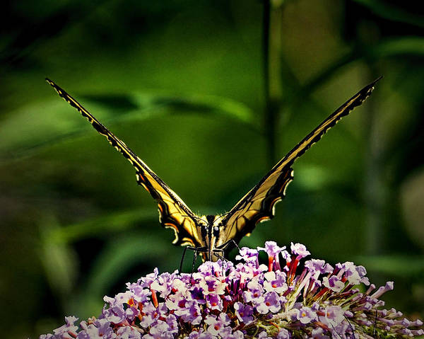Photograph - Butterfly Victory by Bill Swartwout Photography
