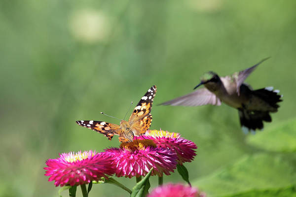 Photograph - Butterfly Vs Hummingbird 1 by Brian Hale