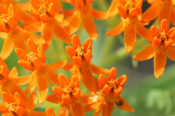 Photograph - Butterfly Weed 6 by Ajp