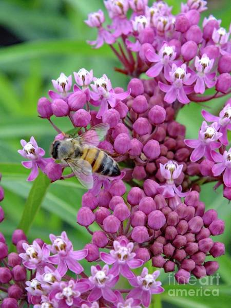 Showy Milkweed Wall Art - Photograph - Swamp Milkweed - Bee by Cindy Treger