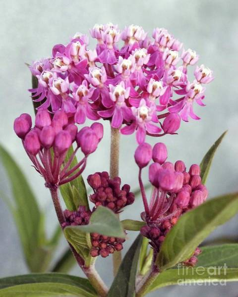 Showy Milkweed Wall Art - Photograph - Swamp Milkweed - Monarch Host Plant by Cindy Treger