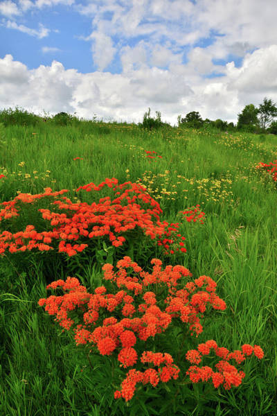 Photograph - Butterfly Weed On Glacial Park Hillside by Ray Mathis