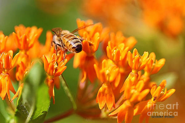 Pistil Painting - Butterfly Weed With Bee by Corey Ford