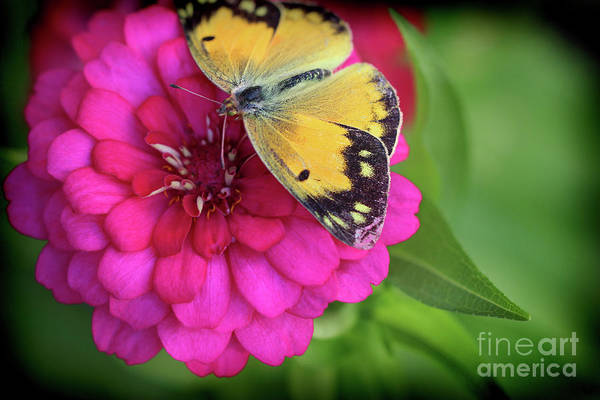 Photograph - Butterfly Whispers by Karen Adams