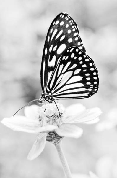 Photograph - Butterfly Wings 7 - Black And White by Marianna Mills
