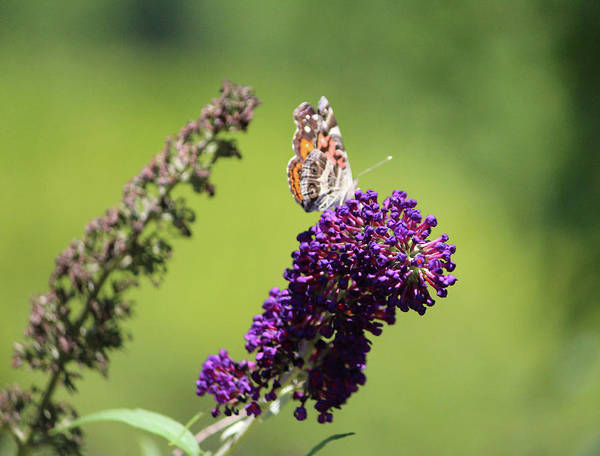 Photograph - Butterfly With Flowers by Cynthia Guinn