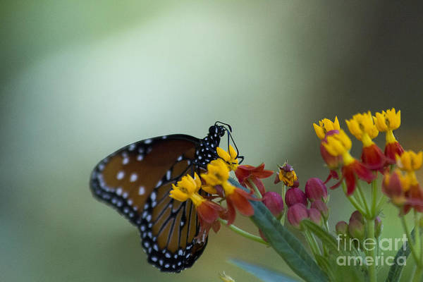 Flutterby Wall Art - Photograph - Butterfly With Yellow Flowers by Amy Sorvillo