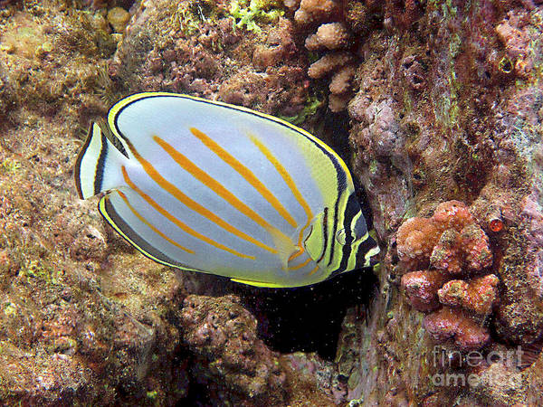 Photograph - Butterflyfish Close Up by Bette Phelan