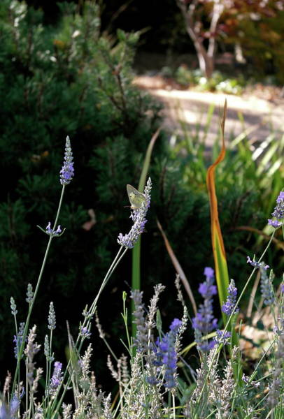 Photograph - Butterfly's Last Lavender by Michele Myers