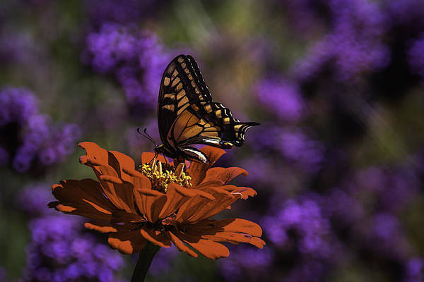 Mums Photograph - Butterfy On Spring Flower by Garry Gay