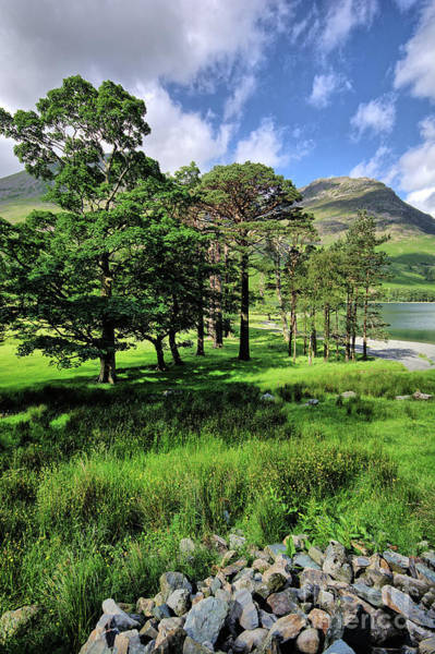English Photograph - Buttermere Pines by Smart Aviation