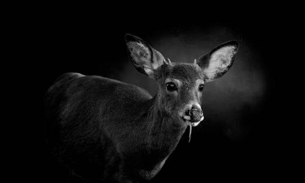 Wall Art - Photograph - Button Buck Eating - Black And White by SharaLee Art