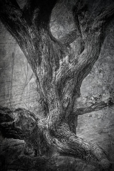 Photograph - Buttonwood 6771bw by Rudy Umans