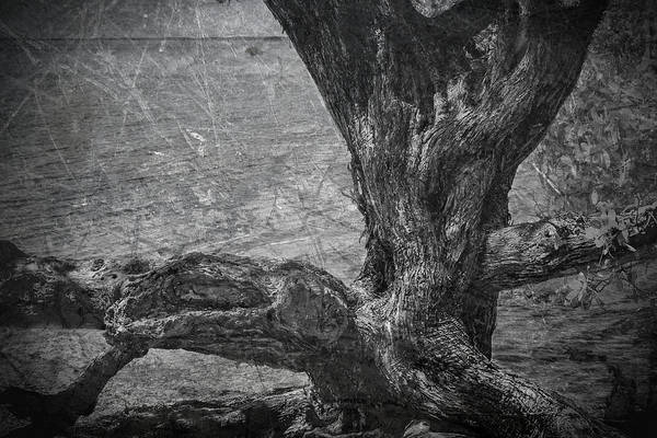 Photograph - Buttonwood 6775bw by Rudy Umans