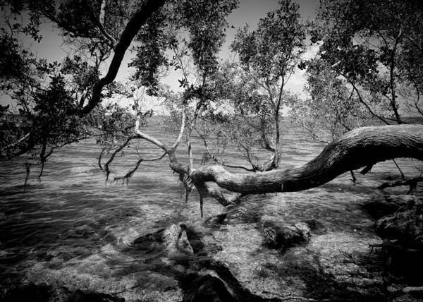 Photograph - Buttonwood In Biscayne National Park by Rudy Umans