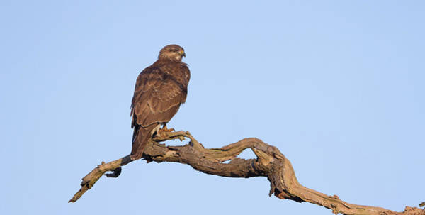 Photograph - Buzzard On Dead Branch by Peter Walkden