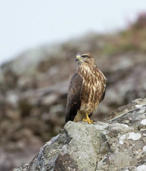 Photograph - Buzzard On Rocks by Peter Walkden