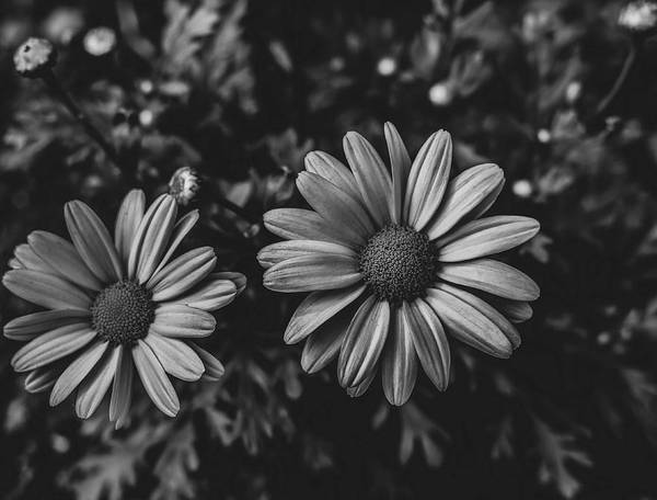 Photograph - Bw Daisies by Keith Smith