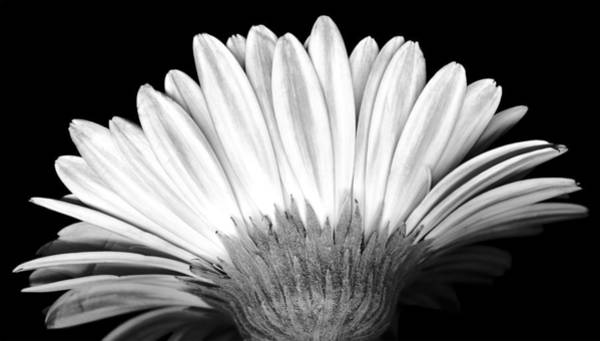 Photograph - Bw Gerber 2 by Deborah J Humphries
