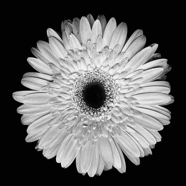 Photograph - Bw Gerber Daisy by Deborah J Humphries