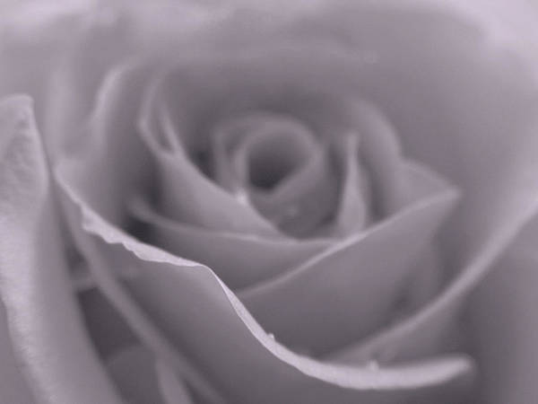 Photograph - Bw Rose  by Juergen Roth