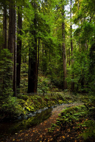 By The Stream In Muir Woods Art Print